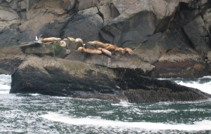 Sea Lions in the Kenai Fjords