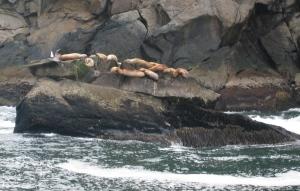 Sea Lions in the Kenai Fjords